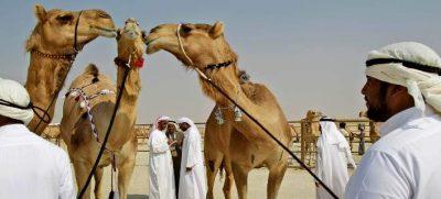 Καμήλες αποκλείστηκαν από καλλιστεία λόγω...μπότοξ!